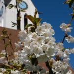 Zur Kirschblüte